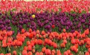unique tulip in a field