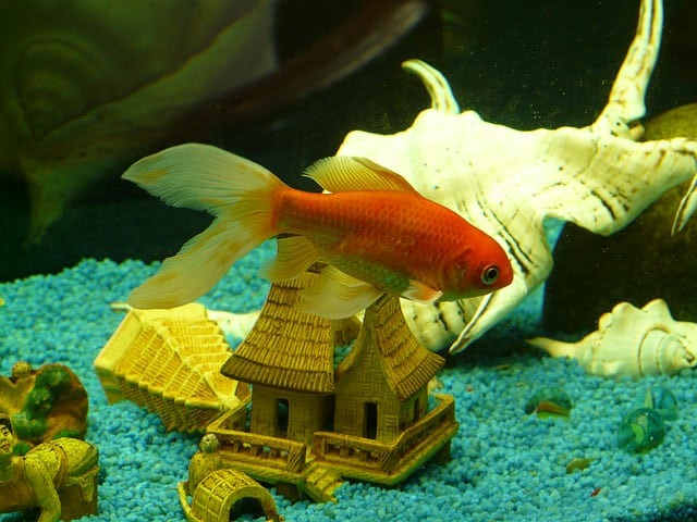 An orange goldfish swimming in a fish tank with blue pebbles and a white shell in the background.